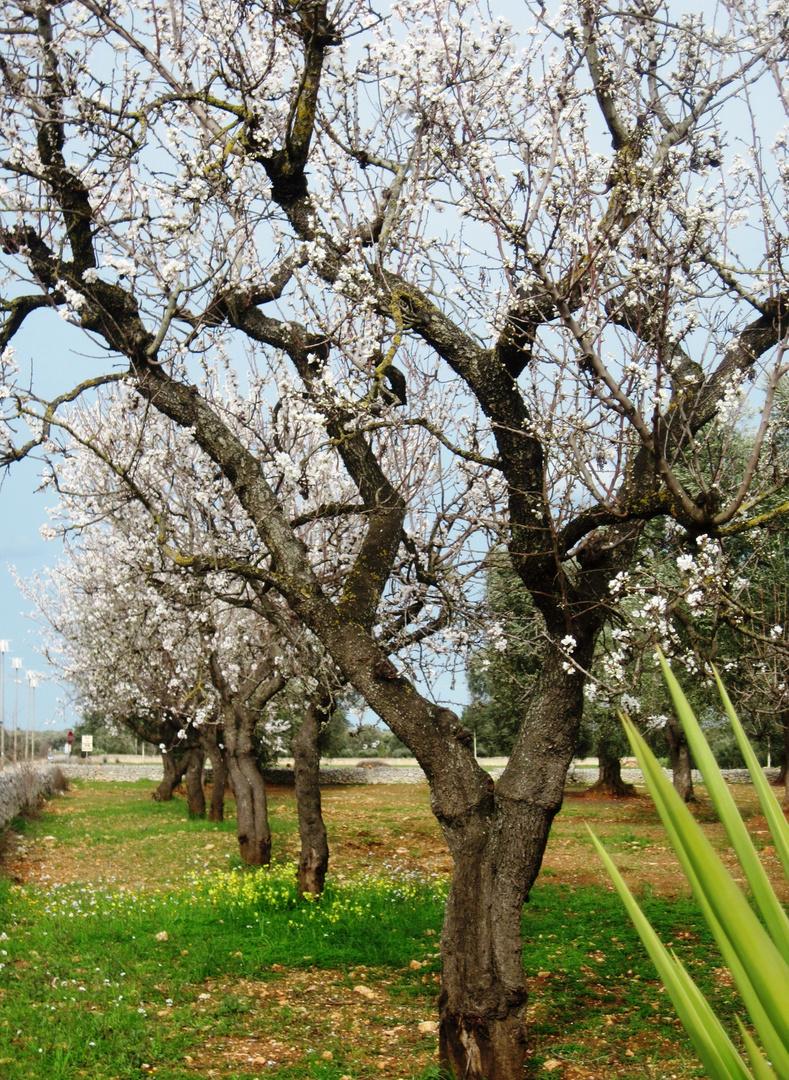 Mandorli in fiore / 1