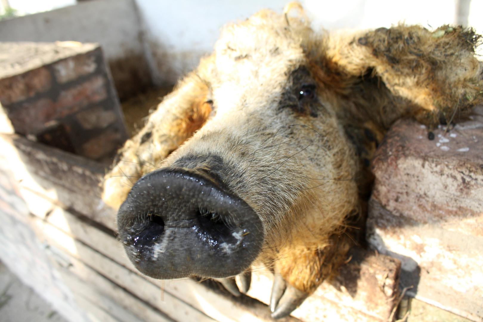 Mangaliza-Schwein in Ungarn