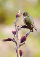 Mango - Kolibri