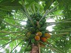 Mango oder Papaya?