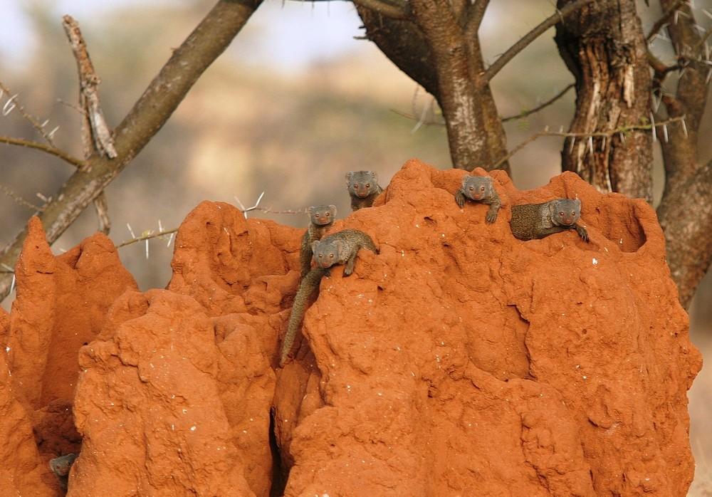 Mangoustes sur termitière (Mangooses on Termite mound) - Samburu / Kenya - Curieuses !