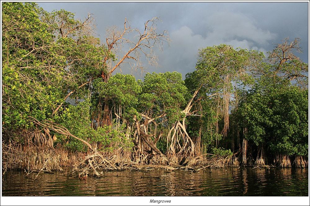 Mangrove, Puerto Escondido