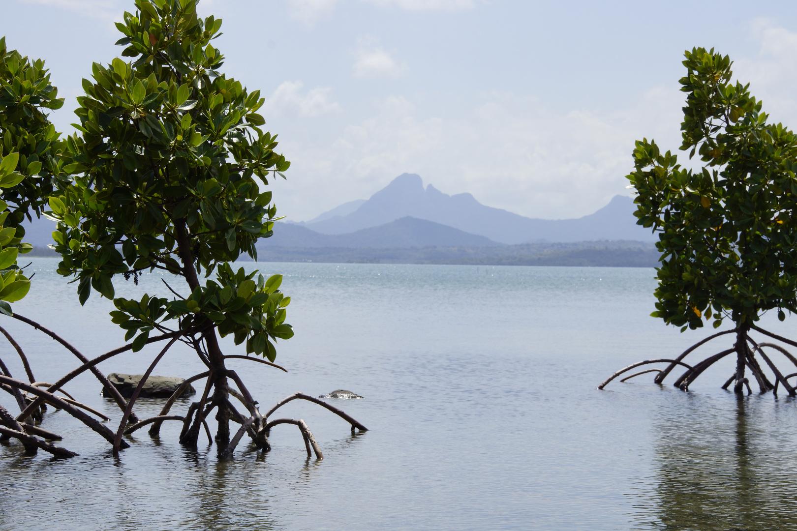 Mangroven auf Mauritius