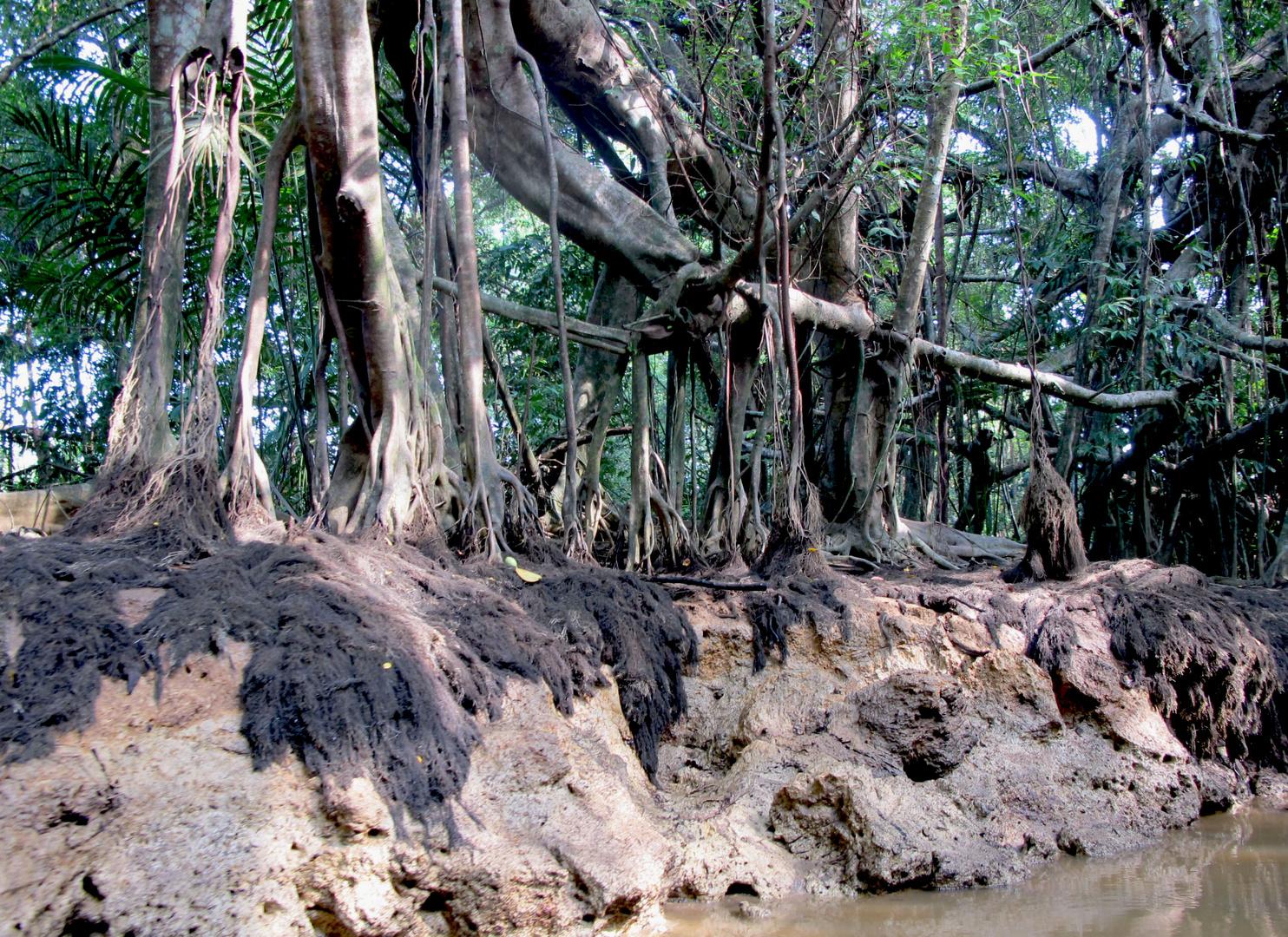 Mangroven bei Ebbe.