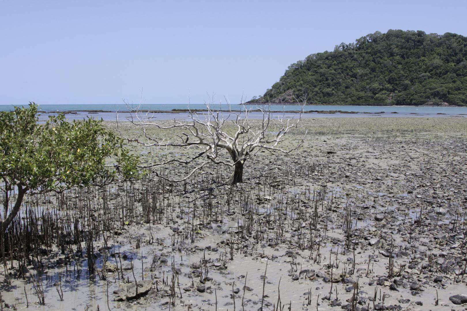 mangrove(n) vor dem cape tribulation