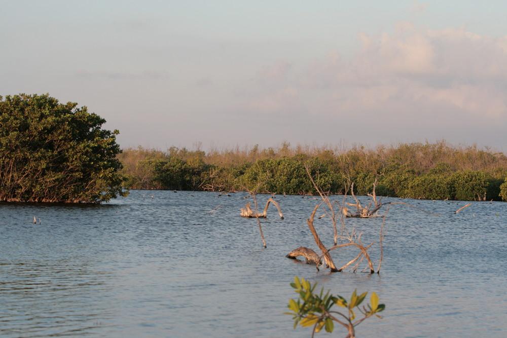 mangroven wälder von Cancun