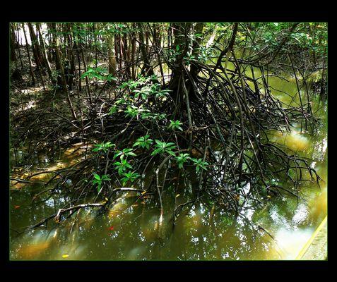 - Mangroven Wald II -
