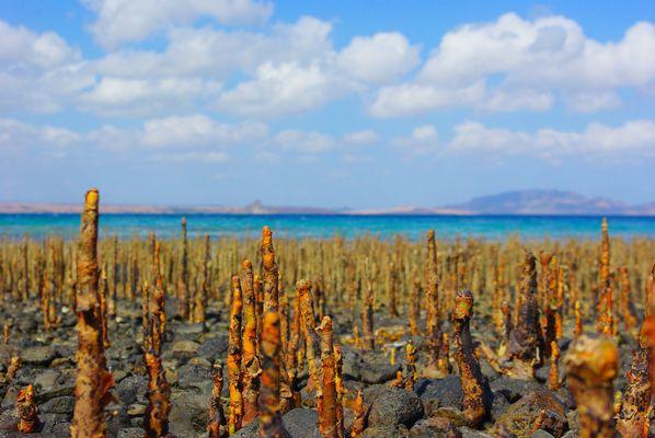 Mangroves land