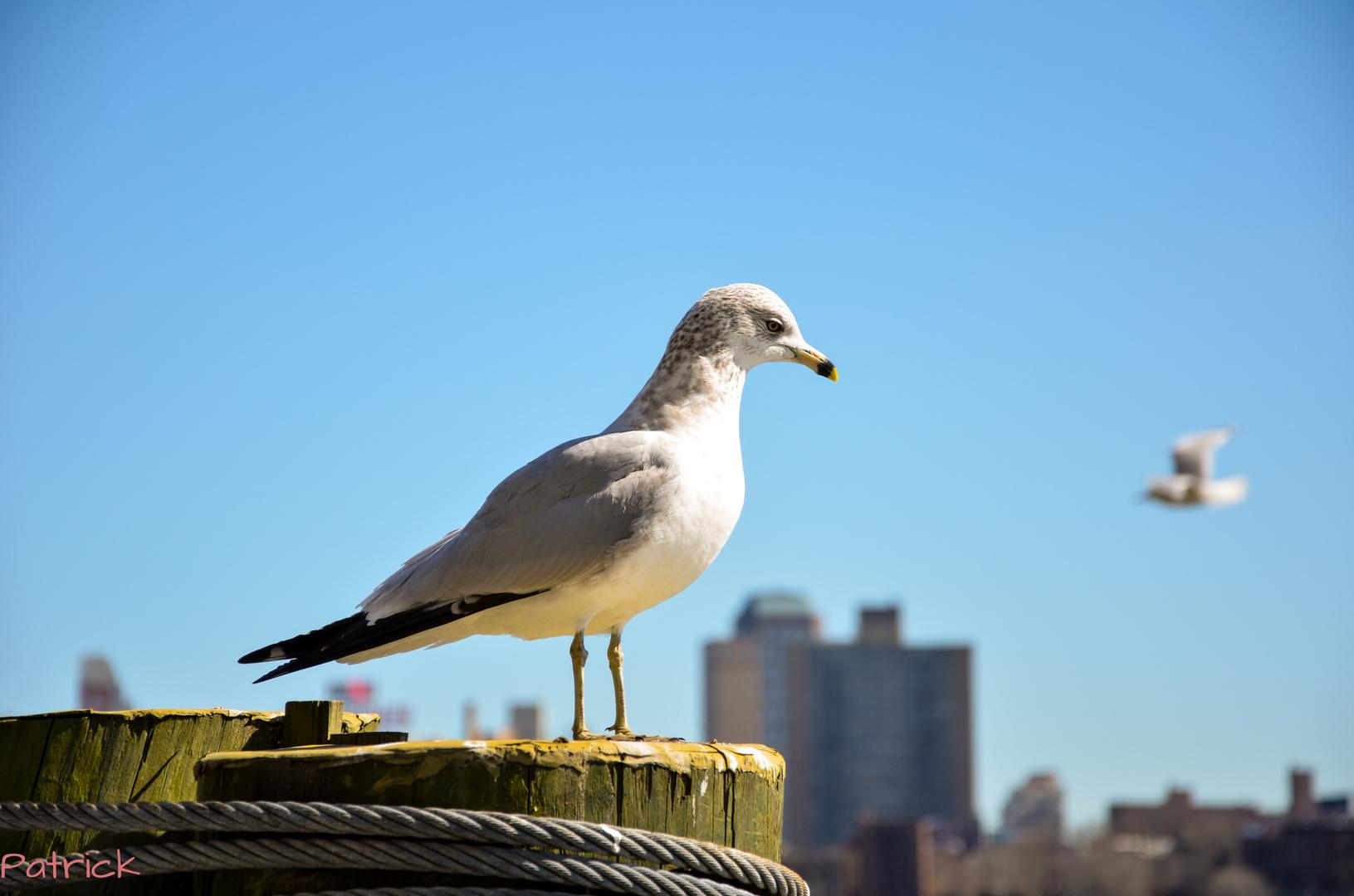 Manhattan Pier Möwe