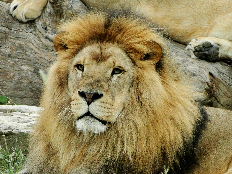 Maniara lion d'afrique 8 ans