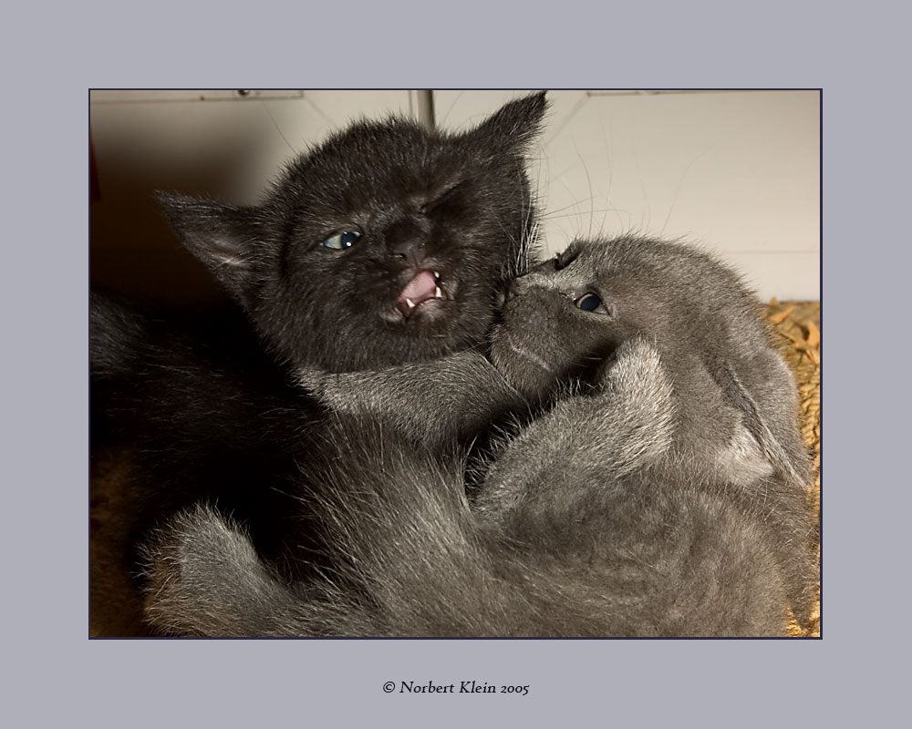 Manis Katzenbabys VII