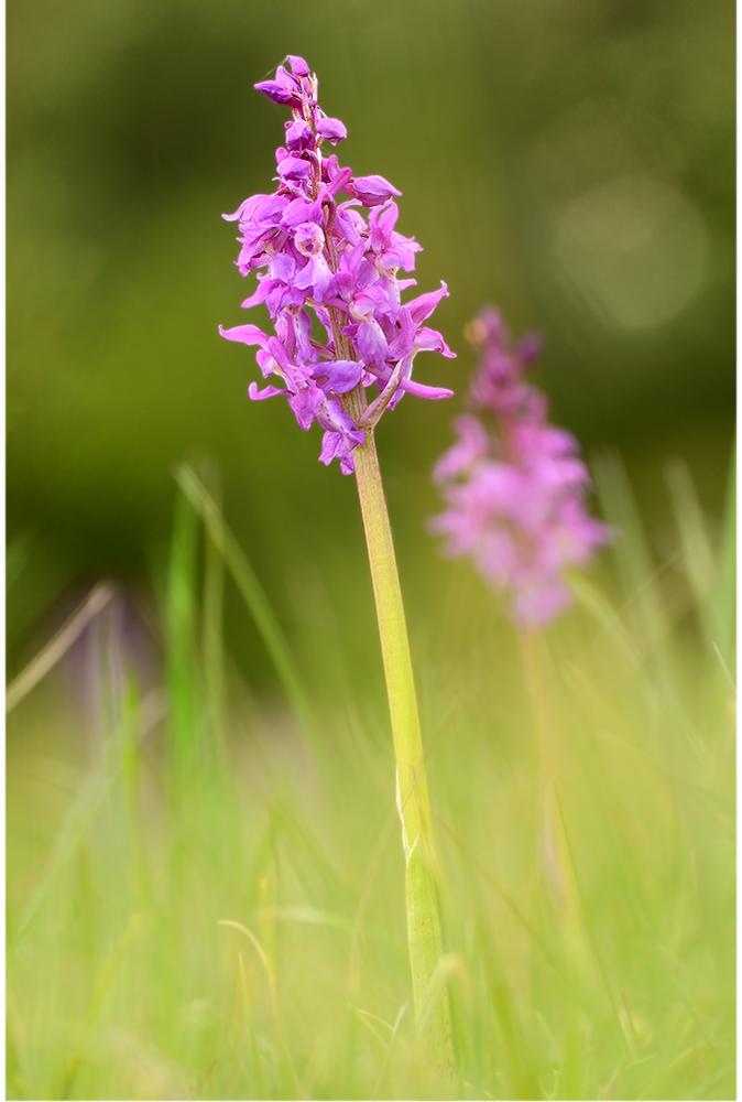 Manns - Knabenkraut lat. orchis mascula
