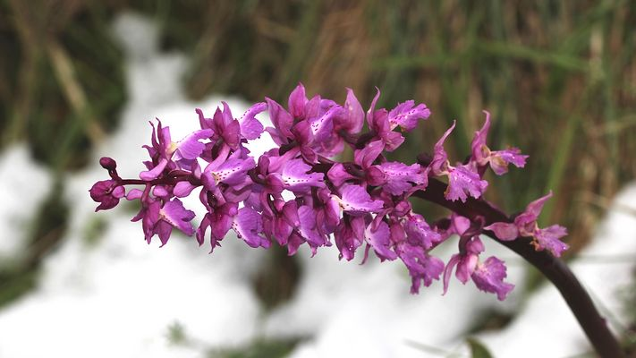 Mannsknabenkraut (Orchis mascula) im Schnee!
