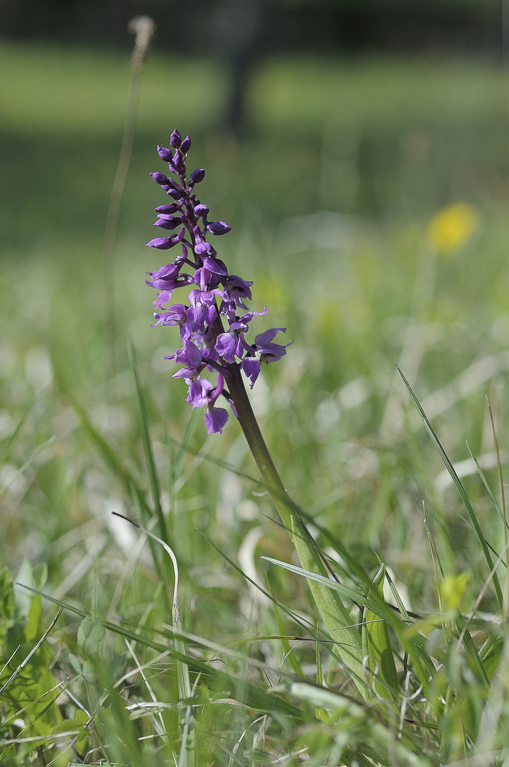 Mannsorchis - Orchis mascula