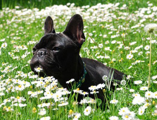 Manolo in einer Gänseblümchenwiese