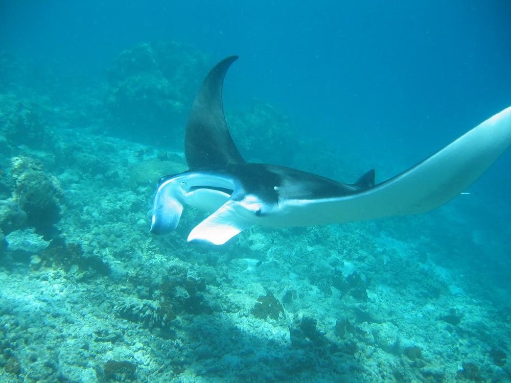 Manta auf den Malediven