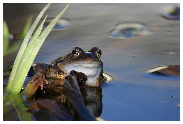 Manta-Frosch