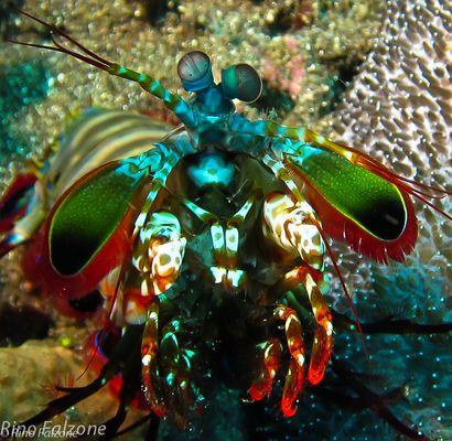 Manta Shrimp