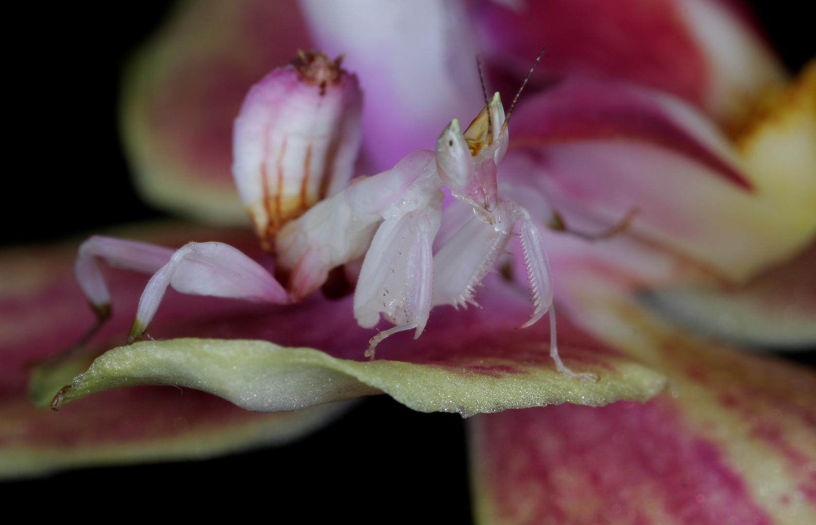 Mante-orchidée
