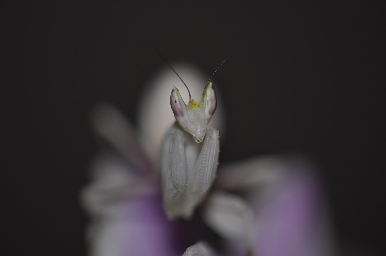 Mante religieuse Orchidée