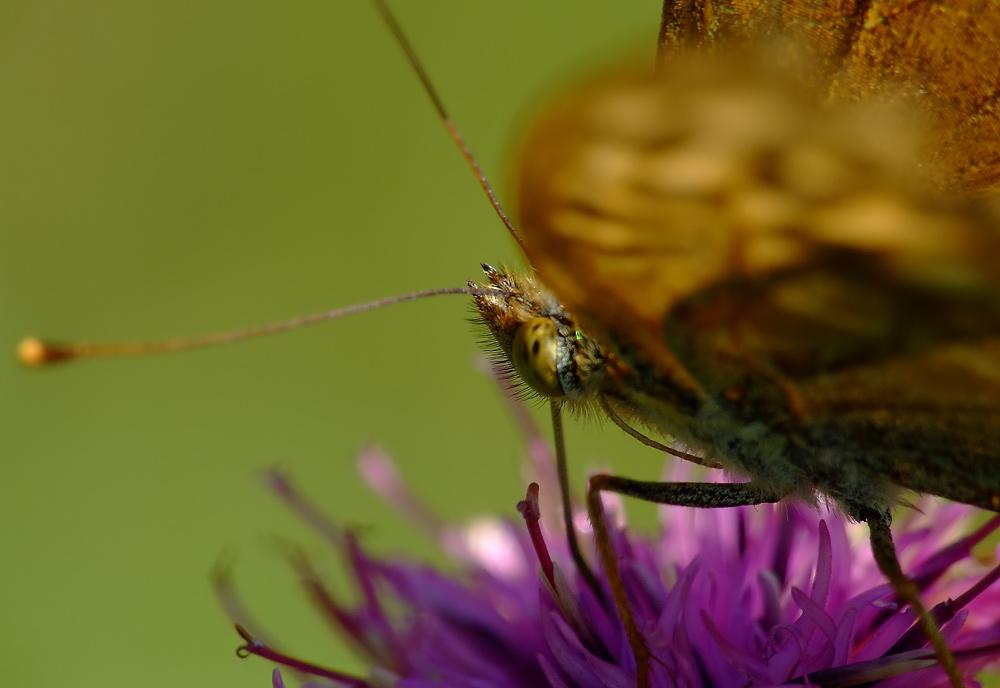 Mantel abgelegt! Das 6. Bein des Kaisermantels!! Er ist also doch ein Insekt....