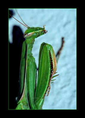 ~Mantis~