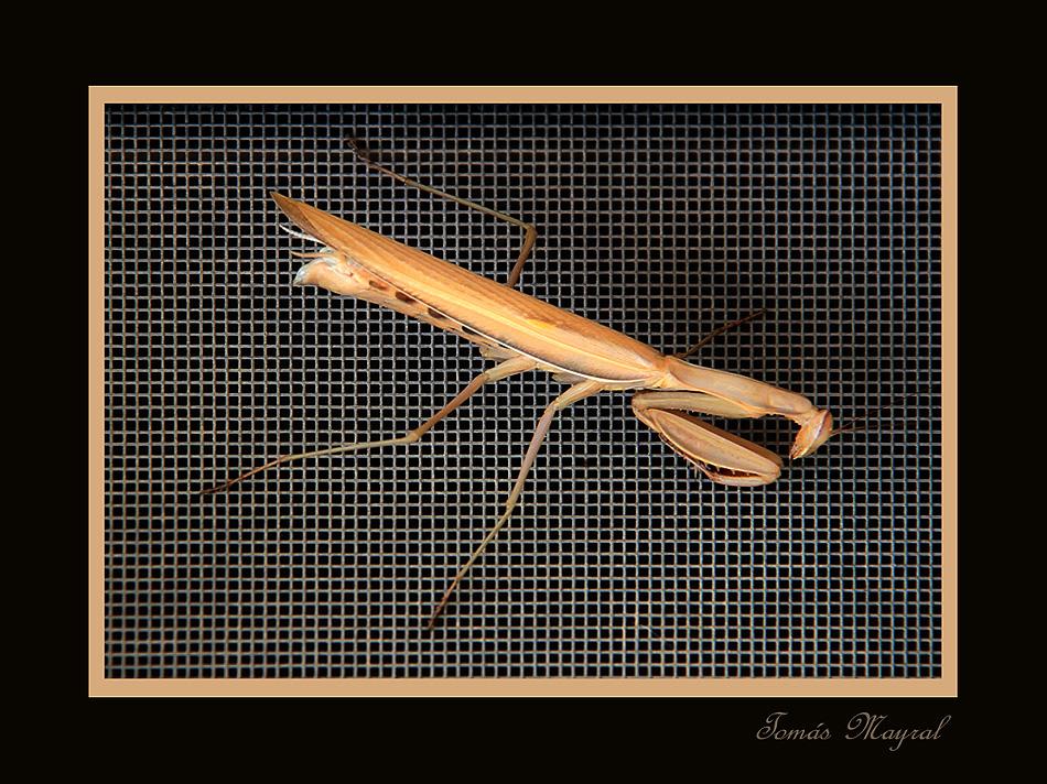 Mantis Atrapada