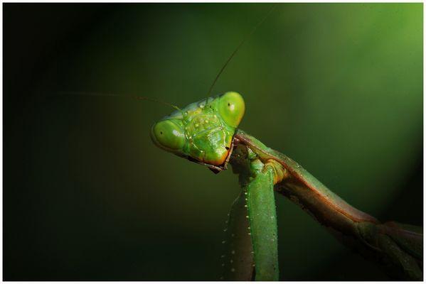 Mantis delta