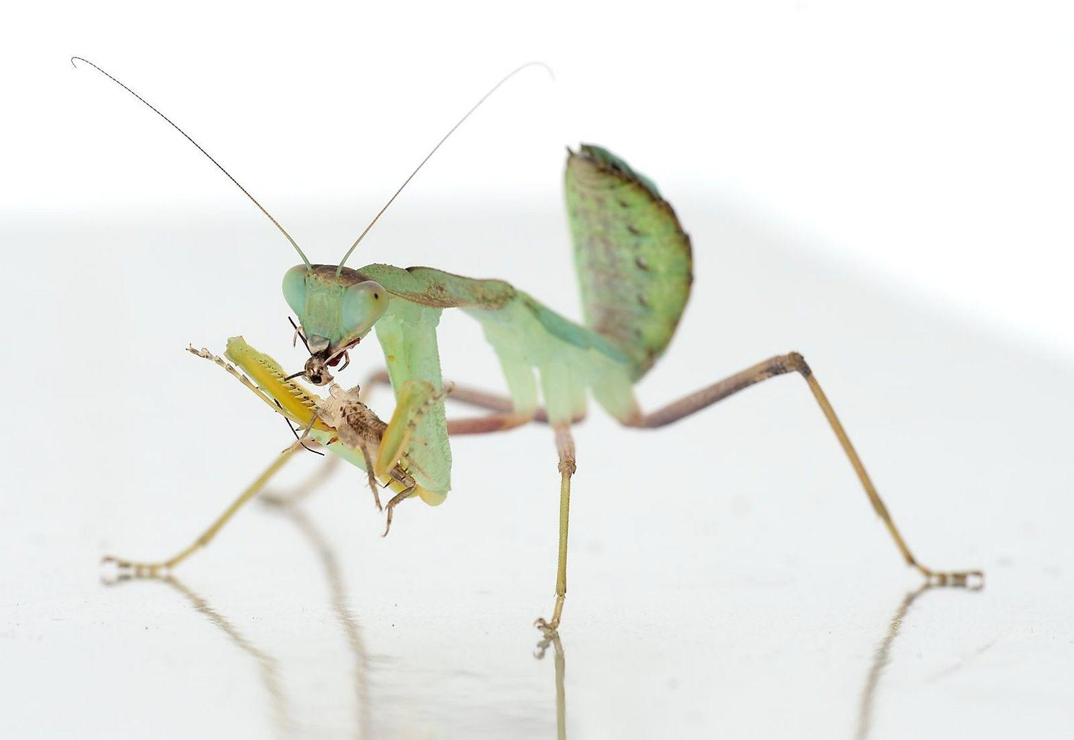 Mantis eating a Cricket