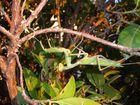 Mantis en el madroño
