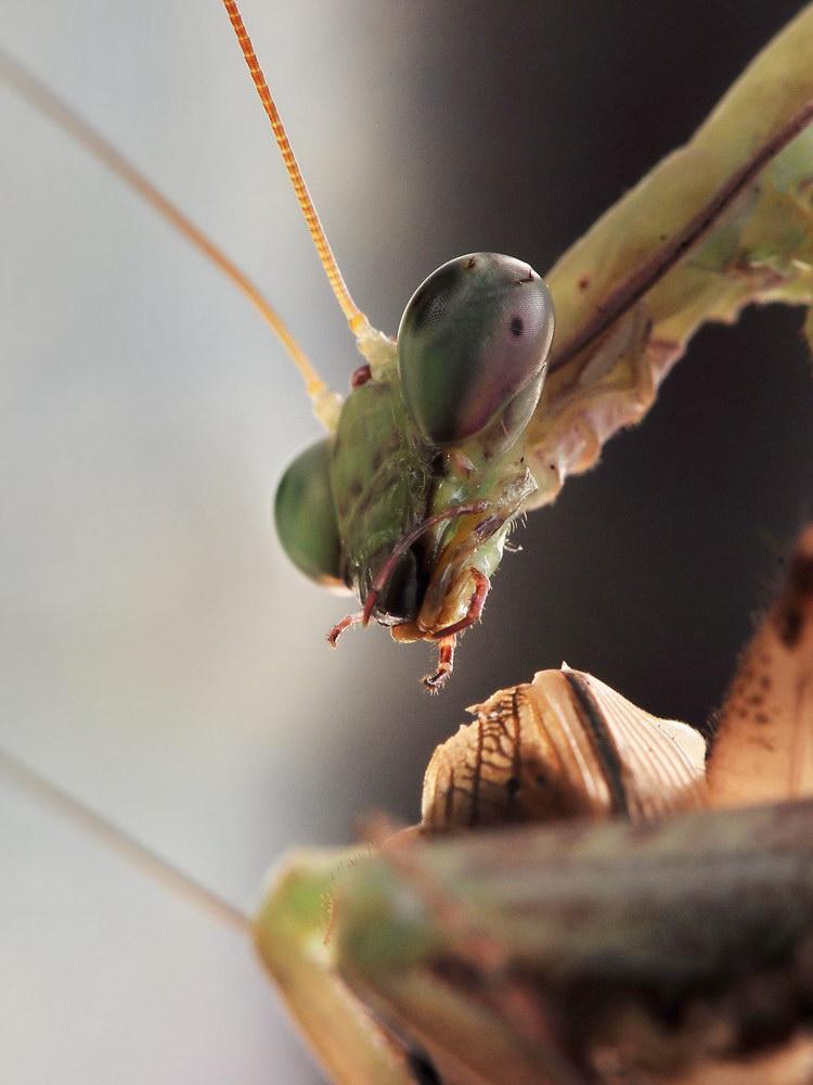 Mantis - Hierodula membranacea