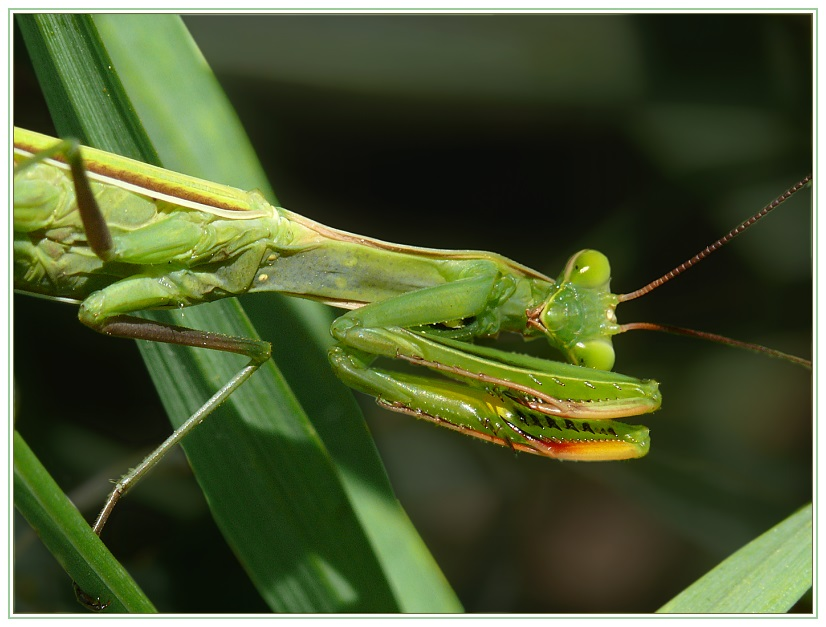 Mantis in Fanghaltung
