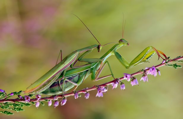 ~~ Mantis in Love ~~ 3 ~~