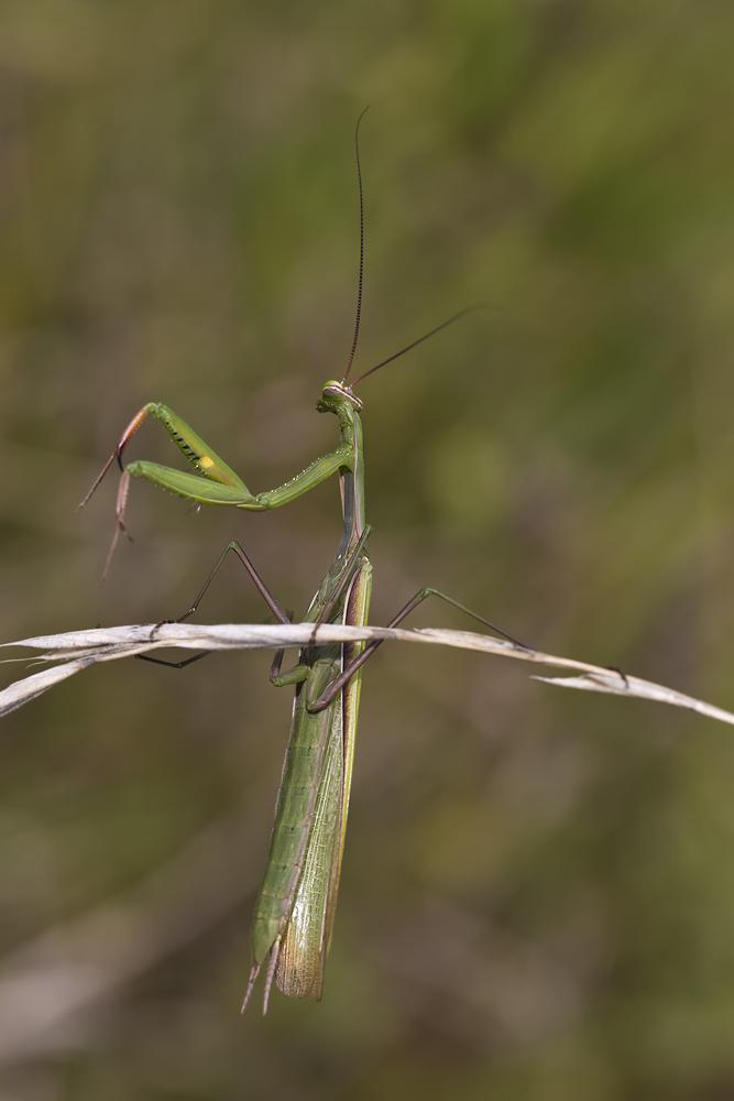 Mantis macht Spagat