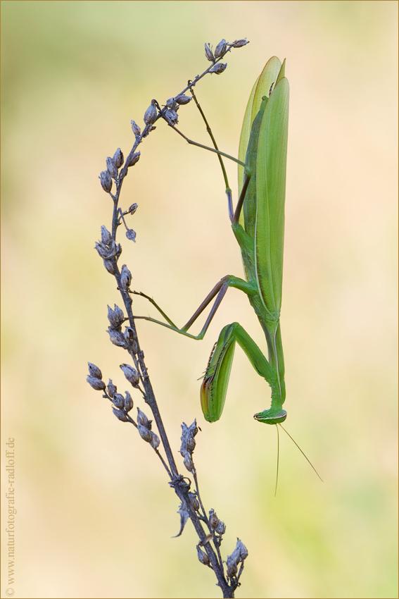 ~Mantis religiosa~