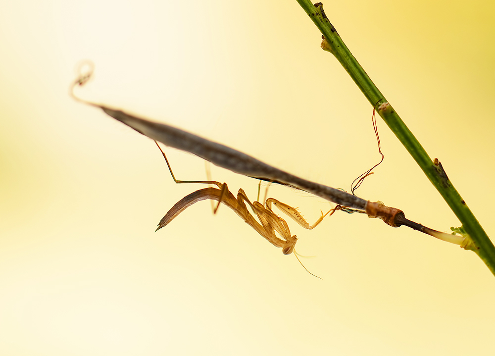 Mantis religiosa 2014