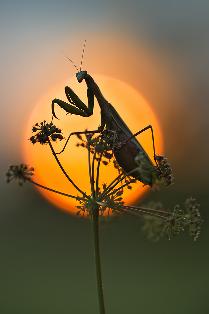 ~ mantis religiosa ~