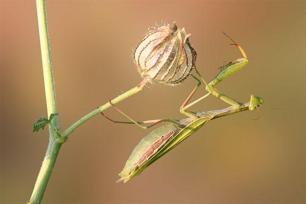 Mantis religiosa - die letzten in diesem Jahr