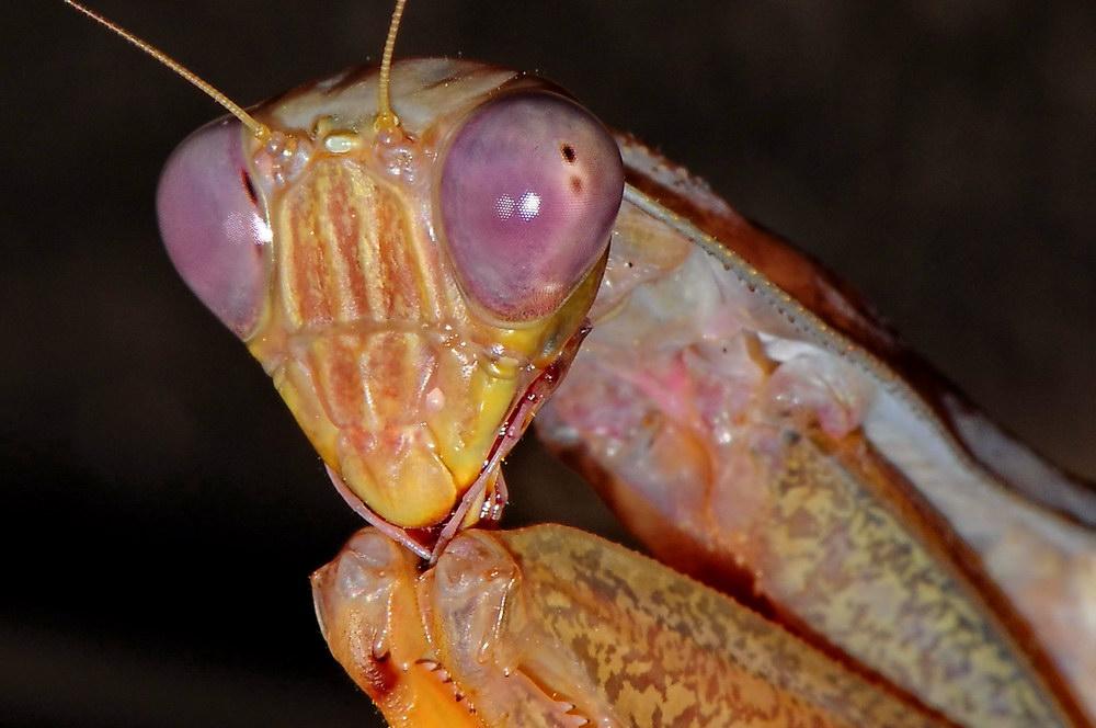 Mantis - Sphodromantis lineol 3