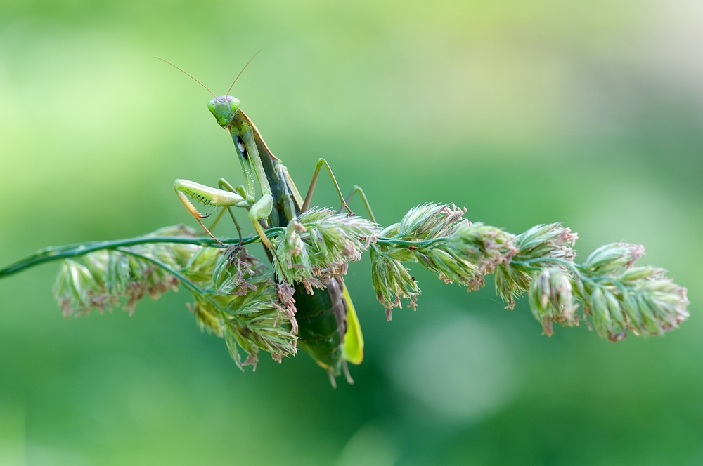 Mantis swingin'