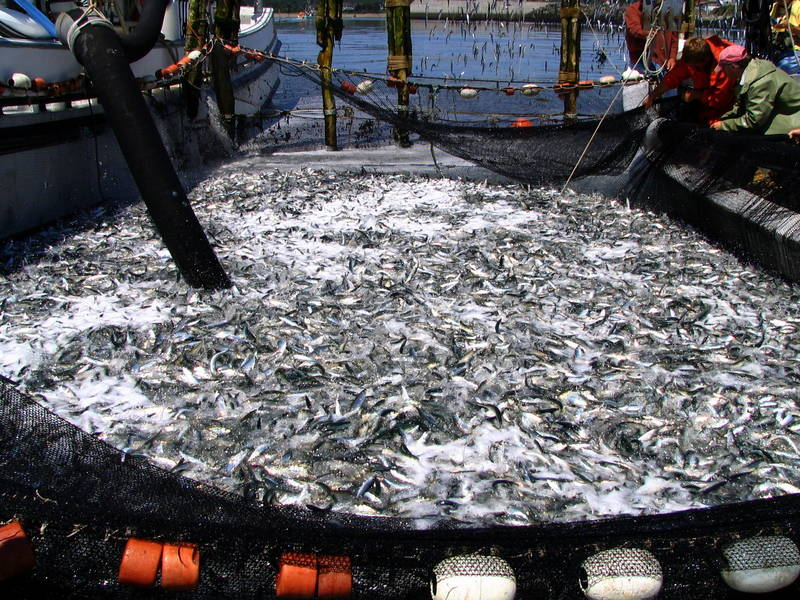 Many Herring