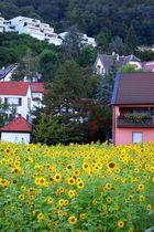 Many Sunflowers in Bad Dürkheim