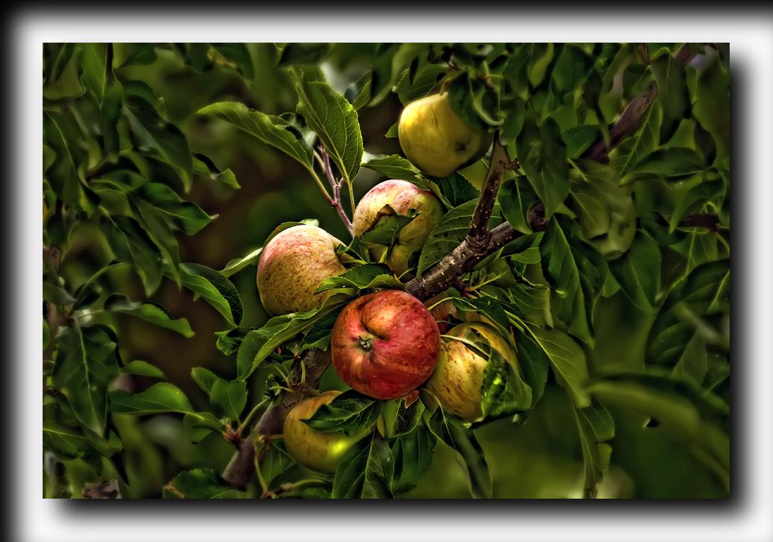 Manzanas del pecado ( para Anita Luz)