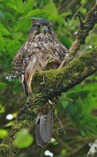 Maori-Falke