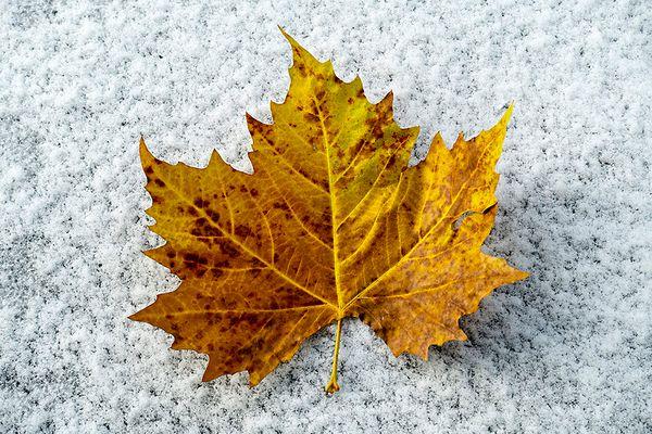 Maple Leaf auf dem ersten Schnee
