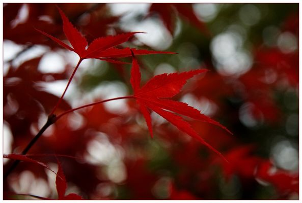 Mapleleaves in red