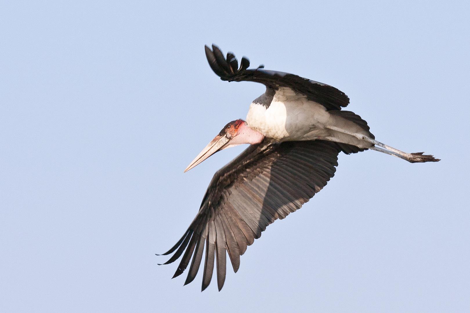 Marabu im Flug
