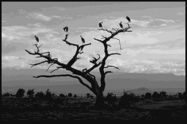 Marabus, Amboseli Nat. Park, Kenia 00