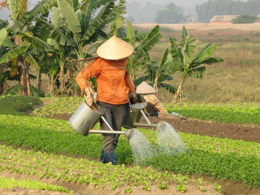 Maraichage Vietnam