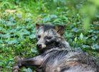 Marderhund (Enok) Biotopwildpark Anholter Schweiz